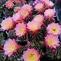 Echinopsis-Hybr. Arabelle  Rheingold 211