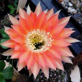 Echinopsis-Hybr. Andenken an Fric  Serie 366
