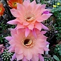 Echinopsis-Hybr. Djinni  Schick Hybride Blüte lachsrosa