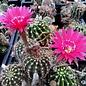 Echinopsis-Hybr. Granada  Rheingold 200