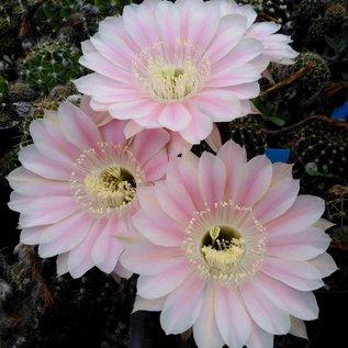 Echinopsis-Hybr. Frolic x weiß mit rosa Streifen