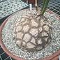 Dioscorea mexicana syn. macrostachya XL