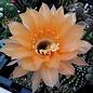 Echinopsis-Hybr. Joker  Rheingold 246