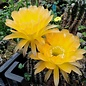Echinopsis-Hybr. Madame Butterfly Schick Hybride