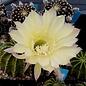 Echinopsis-Hybr. `Moon Glow`