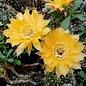 Echinopsis-Hybr. Nibelungenschatz  Rheingold 259