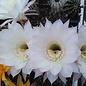 Echinopsis-Hybr. Passo CM 01 Parvati