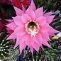 Echinopsis-Hybr. Pink Lipstick