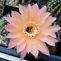 Echinopsis-Hybr. Rio  Rheingold 293