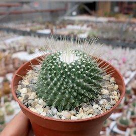 Mammillaria spinosissima Un Pico