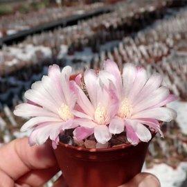 Sulcorebutia cylindrica v. albiflora f. brunispina HS 044a Cruce, Cochabamba, Mizque, Bolivien