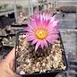 Escobaria vivipara v. arizonica      (dw)