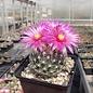 Escobaria vivipara Lz 126 v. neomexicana Sacramento Mnts., NM, 2000 m    (dw)