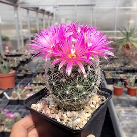 Escobaria vivipara Lz 752 v. neomexicana San Isidro, NM    (dw)
