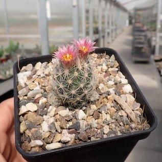Escobaria sneedii ssp. leei     CITES, not outside EU (dw)
