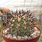Copiapoa marginata