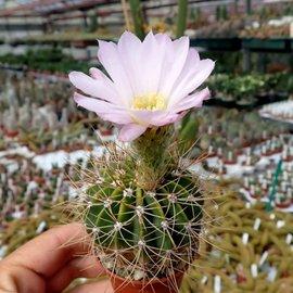 Acanthocalycium violaceum P 110A  Salsacate