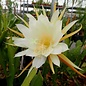 Epiphyllum-Hybr. Cooperi