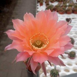 Echinopsis-Hybr. Rendezvouz Rheingold 240