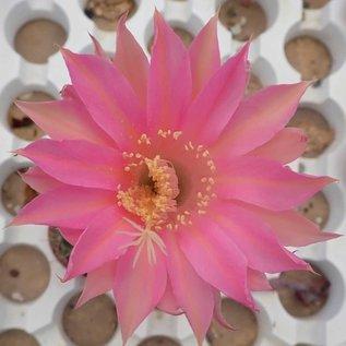 Echinopsis-Hybr. Pink Panther