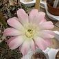 Echinopsis-Hybr. Arequipa-Delft Serie 305
