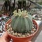 Euphorbia obesa   South Africa