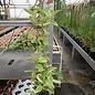Hoya carnosa albomarginata
