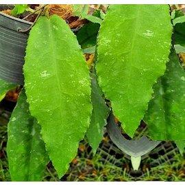 Hoya undulata min. 6 Blätter