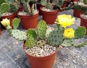 winterharte XL Opuntia