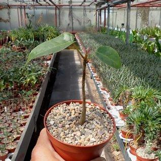 Bombax ellipticum   Mittelamerika