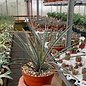 Agave striata cv. Azurea