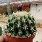 Echinocactus grusonii cv. Brevispinum