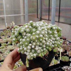 Sempervivum arachnoideum miniature      (dw)