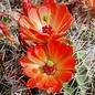 Echinocereus coccineus-Hybr.       (dw)