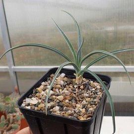 Yucca angustissima  LZ 2074     (dw)