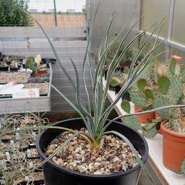 Yucca baileyi LZ 2086 v.baileyi     (dw)