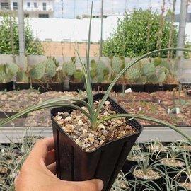 Yucca elata LZ 2075 v. verdiensis     (dw)