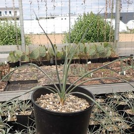 Yucca spec.  LZ 2083     (dw)