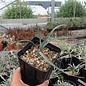 Yucca elata LZ 2077      (dw)