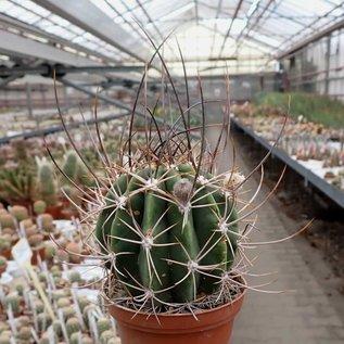 Echinopsis leucantha  ZJ 173 San José de Jachal, SD, Arg.