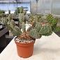 Opuntia rhodantha  x utahensis     (dw)