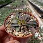 Euphorbia francoisii v. crassicaulis  Madagaskar   CITES, not outside EU