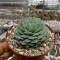 Echeveria setosa cv.Green