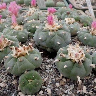 Lophophora williamsii  v. decipiens