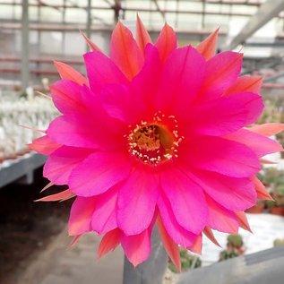 Echinopsis-Schick-Hybr. Romance x Frolic gelb