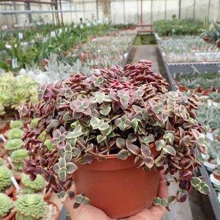 Crassula pellucida ssp. marginalis cv. variegata