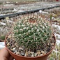 Mammillaria craigii  PN 455 n. Mineral Polanco, Buenavista, Mineral Polanca, Chih