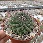Mammillaria chaletii  PN 545 Mina de Bacis, Cardos, Dgo.