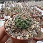 Mammillaria lindsayi  H.O.399 La Reforma, Chih.