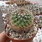 Mammillaria sonorensis  fa.  e.El Sabinito, Alamos- San Pedro, Son.